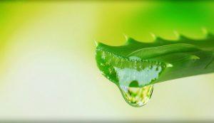 فوائد الألوفيرا (الصبار) للشعر والبشرة والجسم
