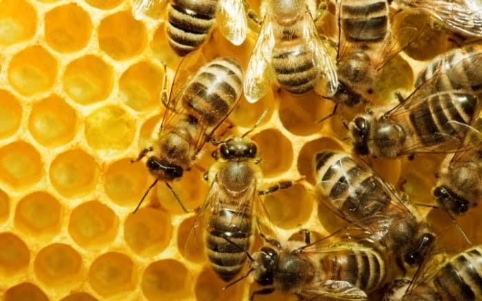 ملكات النحل
